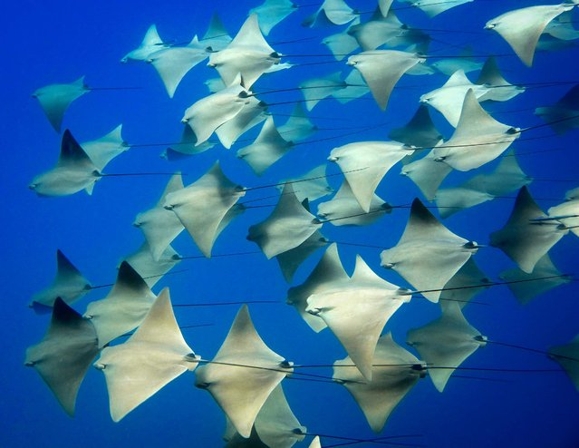 "Honorable Mention, Oceans. ""School Of Rays"". (Photo by Bryan Clark/The Palm Beach Post)"
