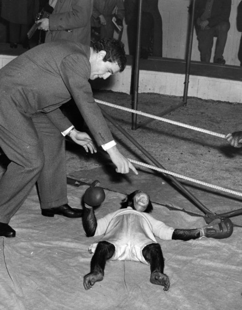 Ron Barton the boxer counts out a chimp during the chimp boxing match being rehearsed at the Bertram Mills Winter quarters in Ascot, December 1955.