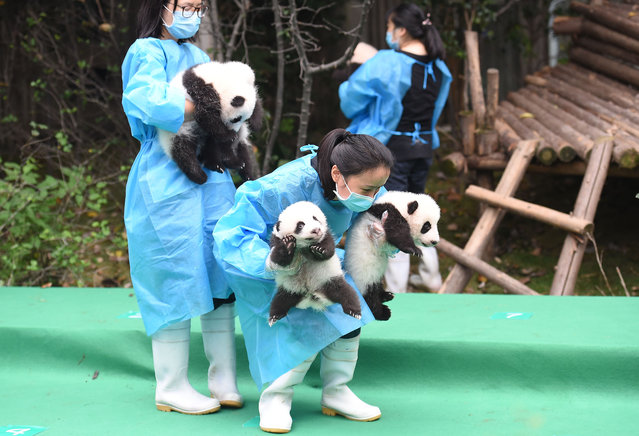 Staff at the Chengdu research base of giant panda breeding bring out the 17 giant pandas born in 2017 for a photocall in Chengdu, Sichuan province, China September 29, 2017. (Photo by Imaginechina/Rex Features/Shutterstock)