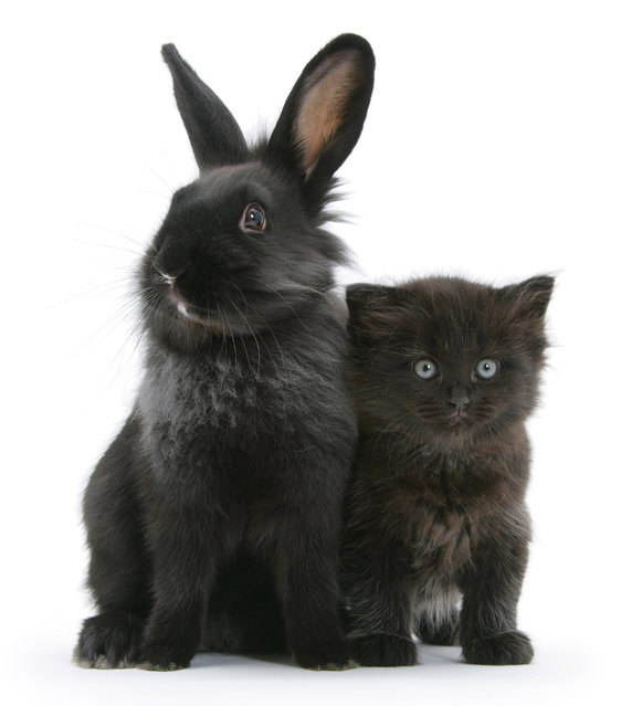 Black kitten with black Lionhead-cross rabbit. (Photo by Mark Taylor/Warren Photographic/Caters News Agency)