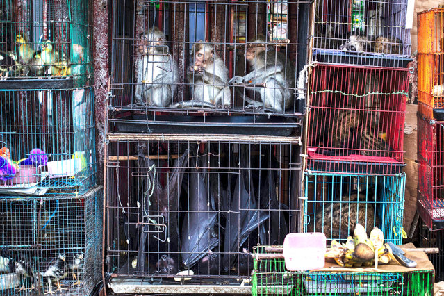 Caged animals in Indonesia. World Animal Protection has launched a campaign calling on Boris Johnson to support a global trade ban on wildlife at the G20 meeting of world leaders in November, to protect fauna and help prevent future zoonotic pandemics. (Photo by World Animal Protection/The Guardian)