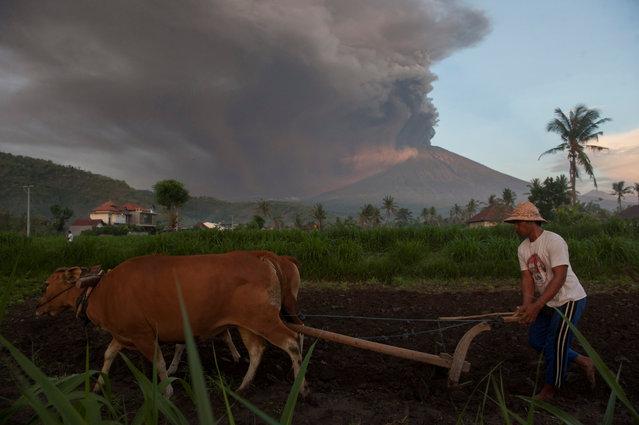 A farmer ploughs his field as Mount Agung erupts in the background in Culik Village, Karangasem, Bali, Indonesia on November 26, 2017. (Photo by Nyoman Budhiana/Reuters/Antara Foto)