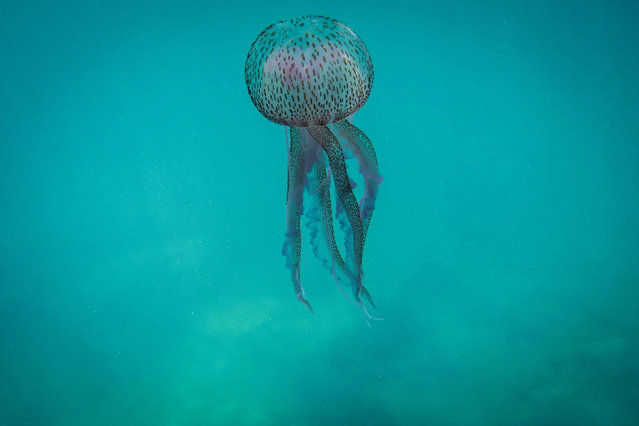 This underwater picture taken at a depth of five metres off the coast Lebanon's northern town of Qalamun on May 27, 2020 shows a Pelagia noctiluca (Medusa luminosa), a species of jellyfish commonly known as the mauve stinger, typically an offshore species widely distributed in all warm and temperate waters including the Mediterranean sea, Red Sea and Atlantic ocean. (Photo by Ibrahim Chalhoub/AFP Photo)