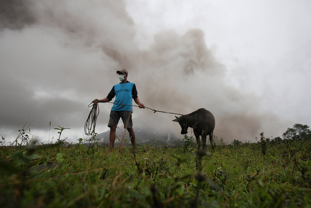 A farmer gets his calf to bring to the nearest evacuation centre after Mayon Volcano spews ashes in Camalig, Albay province, Philippines, January 17, 2018. (Photo by Reuters/Stringer)