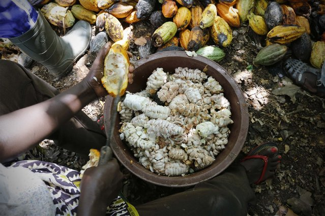 A woman from a local cocoa farmers association called BLAYEYA cuts a cocoa fruit in a cocoa farm in Djangobo, Niable in eastern Ivory Coast, November 17, 2014. (Photo by Thierry Gouegnon/Reuters)