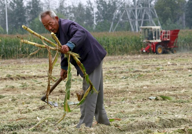 A farmer works at a corn field as a harvester reaps corn (rear) at a farm in Gaocheng, Hebei province, China, September 30, 2015. (Photo by Kim Kyung-Hoon/Reuters)