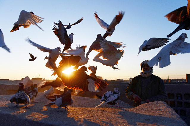 """In this photograph taken on December 4, 2014, Afghan pigeon fancier Abas Aqa feeds his birds as some take flight on the rooftop of his residence in Herat. Aqa, 65, who owns some one hundred pigeons, has been flying pigeons – a pastime locally known as """"kaftar baazi"""" or play of the pigeons – for the past 50 years. (Photo by Aref Karimi/AFP Photo)"""