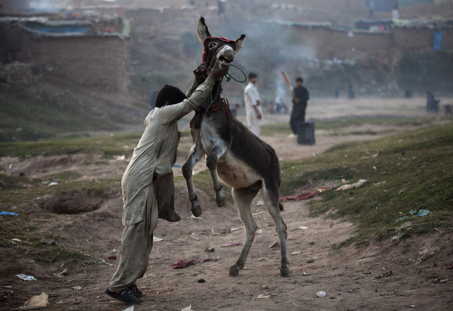 A Pakistani boy who is displaced with his family from tribal area of Bajur where security forces are fighting against militants, plays with his donkey in Islamabad's slums, Thursday, November 20, 2014. (Photo by B.K. Bangash/AP Photo)