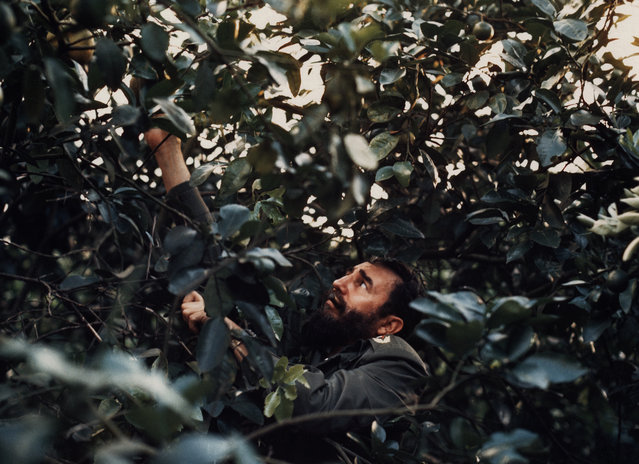 Castro picks grapefruit on his private farm taken for Inside Cuba Today, 1974-1976. (Photo by Fred Ward/Award Agency)