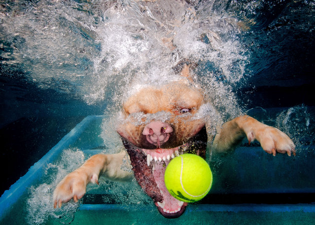 Jonny Simpson-Lee captures the moment these adorable pooches dove head first into a pool. A Golden Labrador jumps for a tennis ball baring his teeth. (Photo by Jonny Simpson-Lee/Caters News Agency)