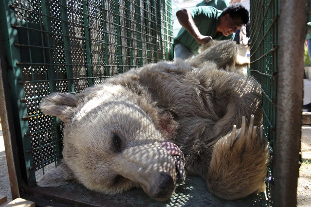 A sedated bear is prepared to be moved from the al-Ma'wa New Hope Center, outside Amman, Jordan, Sunday, October 2, 2016. (Photo by Thomas Hartwell/AP Photo)