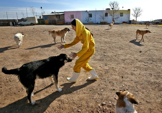 In this Friday, December 5, 2014 photo, Iranian volunteer Asal Moghaddam plays with dogs at the Vafa Animal Shelter in the city of Hashtgerd 43 miles (73 kilometers) west of the capital Tehran, Iran. (Photo by Vahid Salemi/AP Photo)