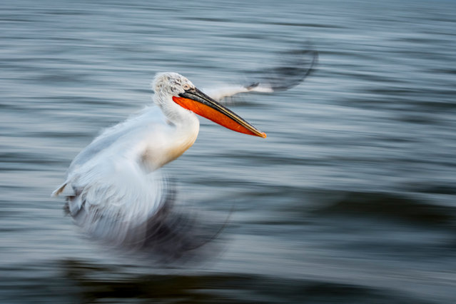 Overall winner: The Art of Flight by Alwin Hardenbol (University of Eastern Finland). A panning shot of a Dalmatian pelican in flight. The picture was taken on Lake Kerkini in Greece. (Photo by Alwin Hardenbol/2020 British Ecological Society Photography Competition)