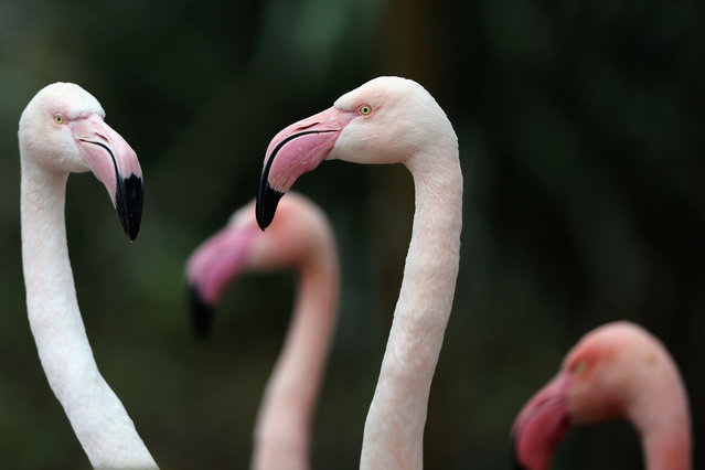 Flamingoes stand in their enclosure during the ZSL London Zoo's annual stocktake of animals on January 5, 2015 in London, England. (Photo by Dan Kitwood/Getty Images)