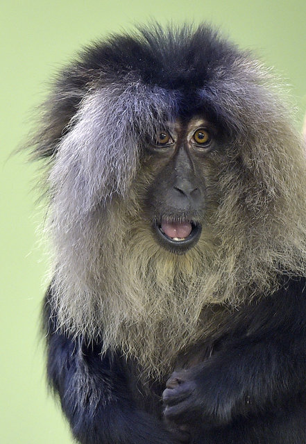 A lion-tailed macaque watches out of his hairy mane on a cold Friday, January 23, 2015 at the zoo in Cologne, Germany. (Photo by Martin Meissner/AP Photo)