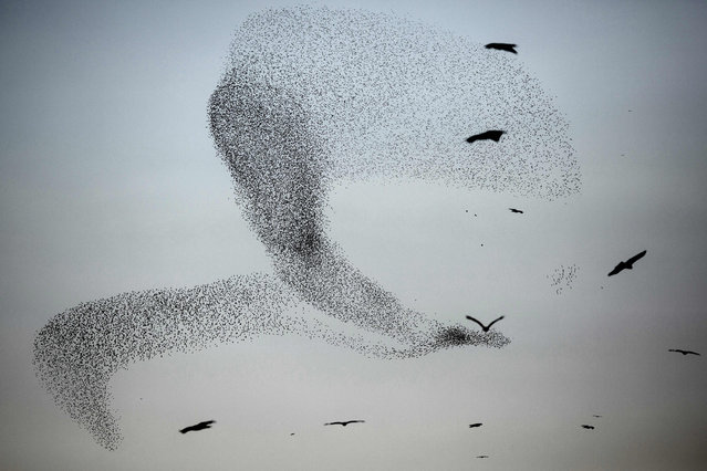 A picture taken on January 4, 2016 shows a murmuration of starlings performing their traditional dance fly before landing to sleep near the southern Arab Israeli city of Rahat, in the northern Israeli Negev desert. (Photo by Menahem Kahana/AFP Photo)
