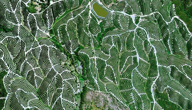 Fruit Tree Orchards, Huelva, Spain. (Photo by Benjamin Grant/Digital Globe/Caters News)