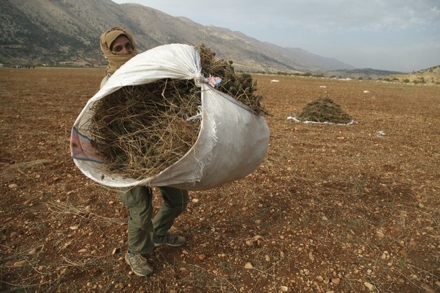 A Syrian refugee (who asked to withhold his name) from Raqqa carries a bundle of cannabis during the harvest in the Bekaa valley, Lebanon October 19, 2015. (Photo by Alia Haju/Reuters)