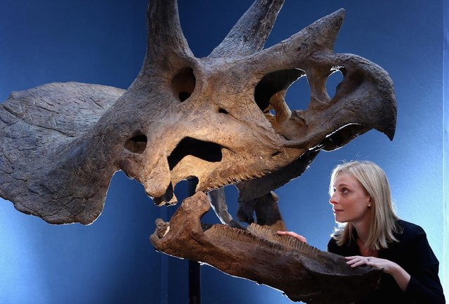 "A Christie's employee poses next to a Triceratops skull at Christie's Auction House on August 5, 2013 in London, England. The skull, which was excavated in the U.S makes up part of the ""Out of the Ordinary"" sale at Christie's Auction House, and is expected to fetch between £150,000 -£250,000 GBP when it goes on sale on September 5, 2013. (Photo by Dan Kitwood/Getty Images)"