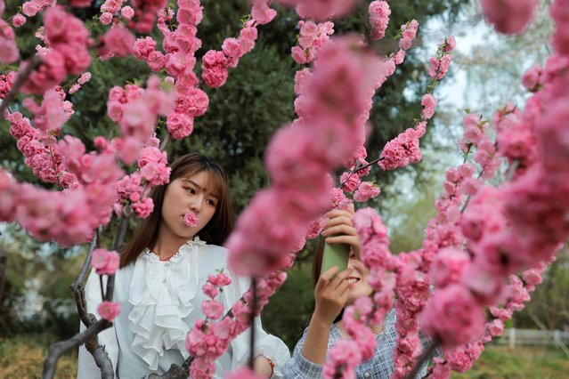 Women take photos amid blooming trees during cherry blossom season in Yuyuantan Park in Beijing, China, March 31, 2021. (Photo by Thomas Peter/Reuters)