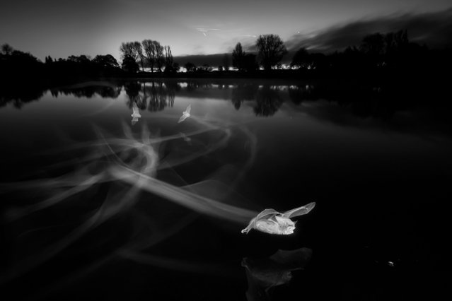 Overall winner: Contrails at Dawn (Daubenton's Bats), Coate Water Country Park, Wiltshire. Ghostly contrails reveal the flight paths and wing beats of Daubenton's bats. An infrared camera and lighting system that were 14 months in development overcame the challenge of photographing the highspeed flight of these small mammals in the dark. The in-camera double exposure caught the foreground bat milliseconds before insect intercept. As these bats are a protected species they were photographed in the wild following advice from the Bat Conservation Trust and Natural England. (Photo by Paul Colley/British Wildlife Photography Awards)