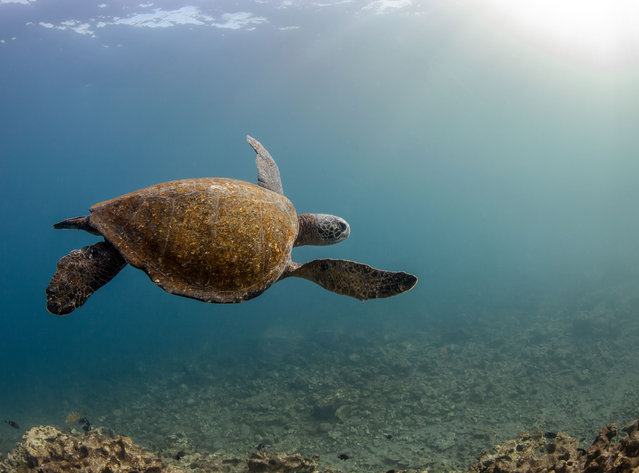 Green turtles take special care of their carapace, scraping algae off on rocks or letting cleaner fish remove parasites. Thanks to long-term protection of nesting sites, and measures to reduce the numbers caught in fishing gear, some green turtle populations are starting to recover. (Photo by Philip Hamilton/The Guardian)