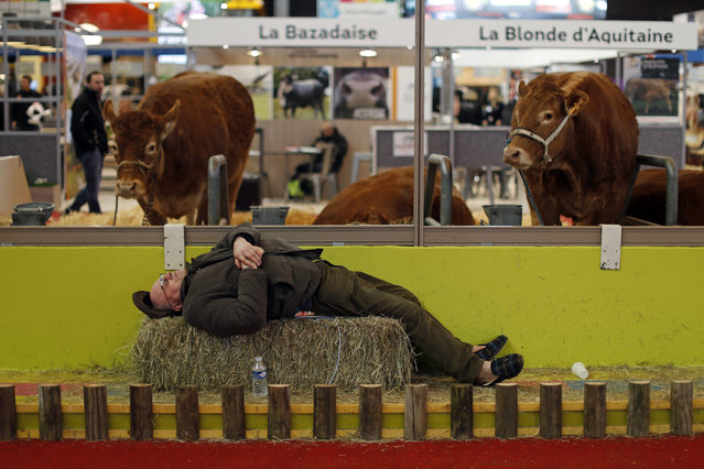 A farmer sleeps near cows at the International Agricultural Show in Paris, France, February 29, 2016. The Paris Farm Show runs from February 27 to March 6, 2016. (Photo by Benoit Tessier/Reuters)