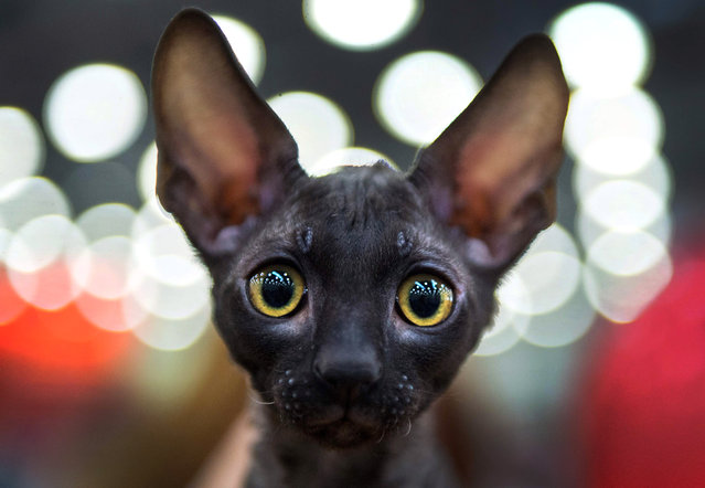 A Cornish Rex breed cat attends the Catsburg 2016 International Cats show in Moscow on March 5, 2016. (Photo by Dmitry Serebryakov/AFP Photo)