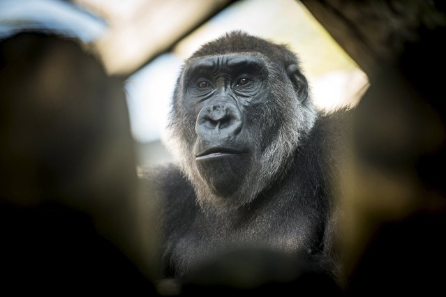 A gorilla named Susie sits in her enclosure at the Columbus Zoo and Aquarium in Powell, Ohio in this August 24, 2015 handout photo provided by the Columbus Zoo on March 16, 2016. Susie is helping provide fresh insight into the genetic differences between people and these endangered apes that are among our closest living relatives. (Photo by Amanda Carberry/Reuters/Columbus Zoo and Aquarium)