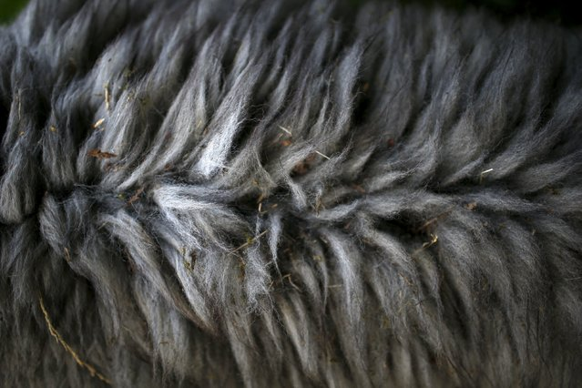 The coat of an alpaca that belongs to Lisa Vella-Gatt (not pictured), 46, is seen at her farm near Benfeita, Portugal May 11, 2015. (Photo by Rafael Marchante/Reuters)