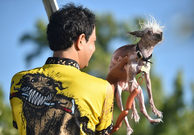 Rascal, a Chinese Crested, is presented to judges during the World's Ugliest Dog Competition in Petaluma, California on June 26, 2015. (Photo by Josh Edelson/AFP Photo)