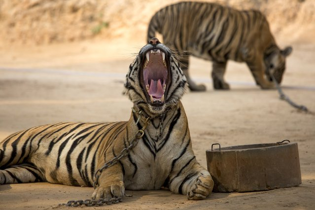 A toothsome yawn in an area called Tiger Canyon, where visitors can have their photo taken, at Tiger Temple in Kanchanaburi, Thailand, March 16, 2016. The temple promotes itself as a place where tigers betray their wild nature to coexist with humans in Buddhist harmony, and some monks and staff members believe that certain tigers are reincarnated monks or family members. (Photo by Amanda Mustard/The New York Times)
