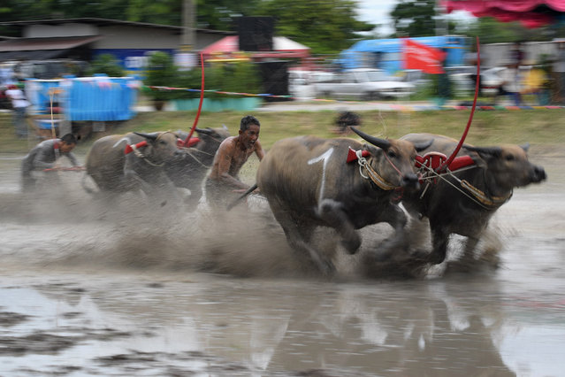 Water buffaloes participate in a race in Chonburi on July 21, 2019. Sloshing across a muddy field with men sprinting behind them, prized water buffaloes blow past cheering spectators in eastern Thailand on July 21 in a rare display of bovine speed. (Photo by Lillian Suwanrumpha/AFP Photo)