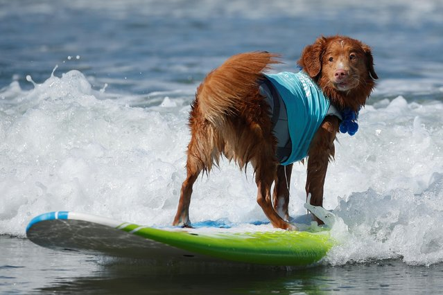 """A dog stands backwards riding a wave while competing at the 14th annual Helen Woodward Animal Center """"Surf-A-Thon"""" where more than 70 dogs competed in five different weight classes for """"Top Surf Dog 2019"""" in Del Mar, California, U.S., September 8, 2019. (Photo by Mike Blake/Reuters)"""