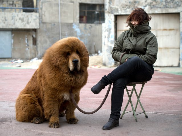 A Tibetan mastiff dog is displayed for sale at a mastiff show in Baoding, Hebei province, south of Beijing on March 9, 2013. Fetching prices up to around 750,000 USD, mastiffs have become a prized status-symbol amongst China's wealthy, with rich buyers across the country sending prices skyrocketing. Owners say the mastiffs, descendents of dogs used for hunting by nomadic tribes in central Asia and Tibet are fiercely loyal and protective. (Photo by Ed Jones/AFP Photo)