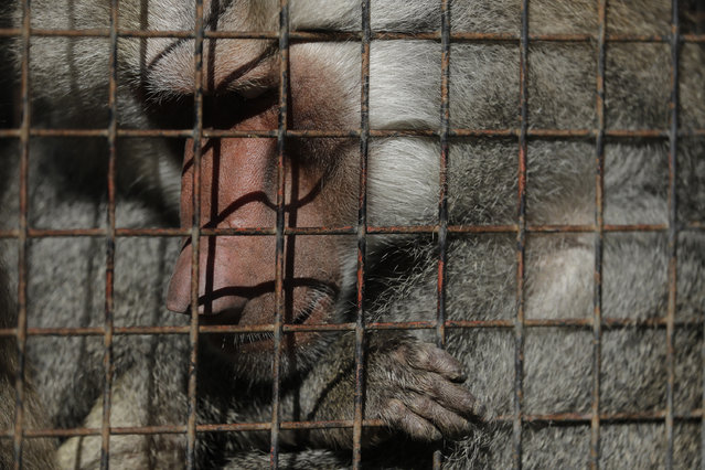 "This May 16, 2017 photo shows a baboon inside an enclosure at the former city zoo now known as Eco Parque, in Buenos Aires, Argentina. ""The enclosures haven't been modified, and obviously, the animals suffer"", said Juan Carlos Sassaroli, a veterinarian who worked at the former zoo. ""We want the zoo to be a conservation tool, not a park for walking dogs because we have that already"". (Photo by Natacha Pisarenko/AP Photo)"