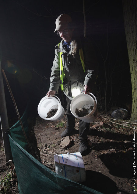 Volunteer Burghard Sell collects toads along an amphibian fence next to a road near Berlin