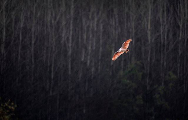 A crested ibis flies over the Muma River in Hanzhong, north-west China's Shaanxi province. Crested ibises, with their red crests and long black beaks, were thought to be extinct in the country until seven wild birds were observed in Shaanxi in 1981, a discovery that prompted captive breeding and enhanced protection of the species. (Photo by Tao Ming/Xinhua News Agency/Barcroft Media)