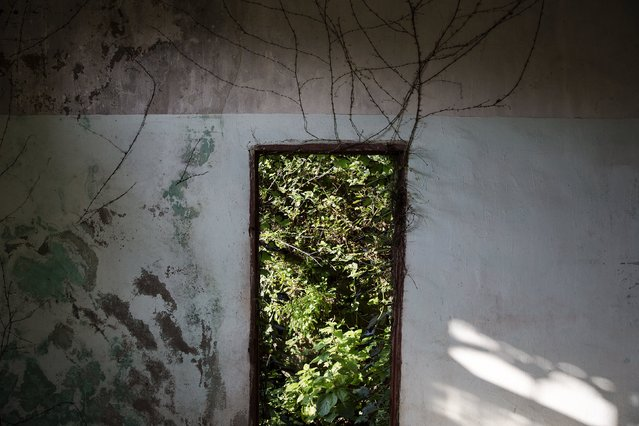 Vegetation grows through an open door of a house in the abandoned fishing village of Houtouwan on the island of Shengshan July 26, 2015. (Photo by Damir Sagolj/Reuters)