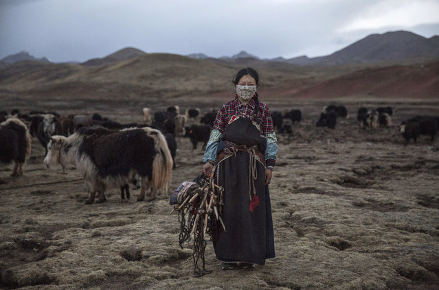 A Tibetan woman stands amongst her yak herd, a traditional source of income, at a camp for cordycep pickers on May 23, 2016 on the Tibetan Plateau near Zadoi in the Yushu Tibetan Autonomous Prefecture of Qinghai province. (Photo by Kevin Frayer/Getty Images)