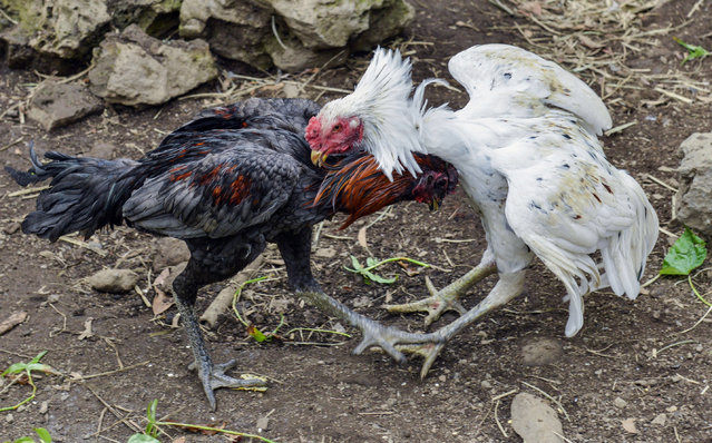 In this photo dated Wednesday, July 29, 2015 cocks fight during a sparring session in St Anne, Reunion Island. (Photo by Fabrice Wislez/AP Photo)