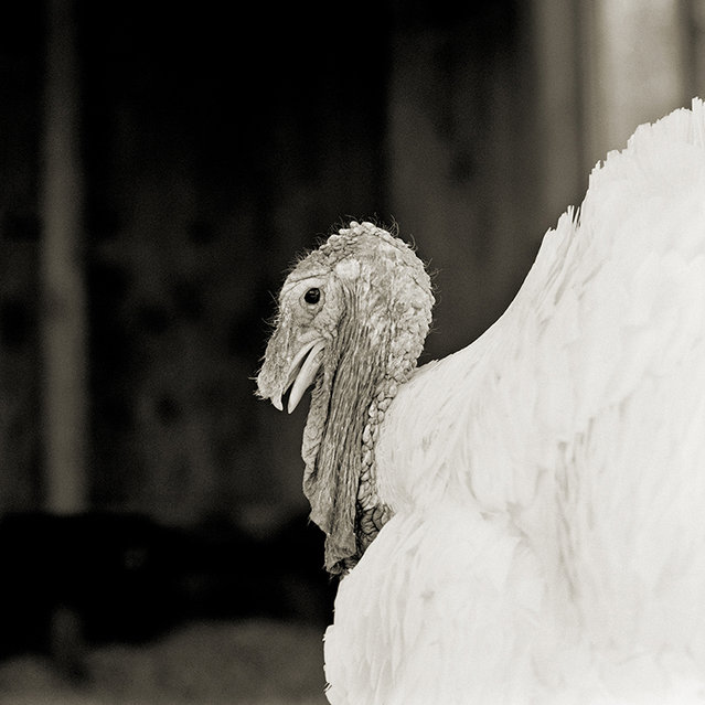 Sierra, White Holland Turkey, Age 3