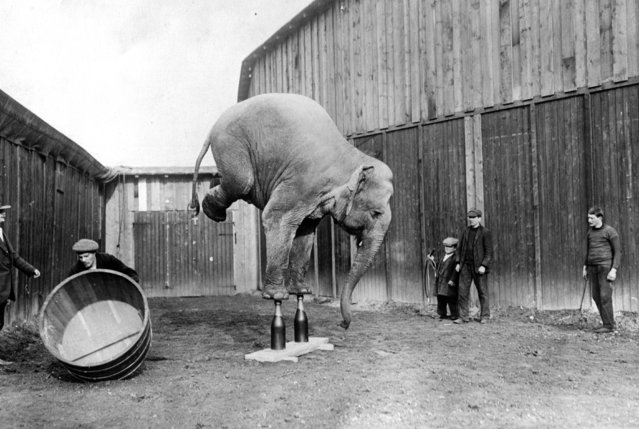 A circus elephant balances on its front legs, circa 1920.