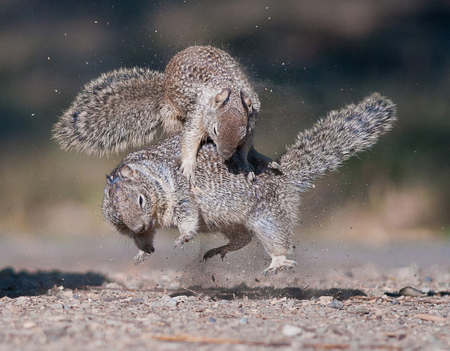 Jump: Two squirrels were playing in the warm afternoon in the Penitencia Creek County Park in San Jose, California. (Photo by Chih-Hung Kao/National Geographic Photo Contest