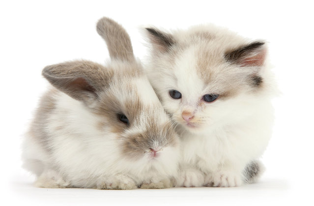 Colourpoint kitten with baby rabbit. (Photo by Mark Taylor/Warren Photographic/Caters News Agency)