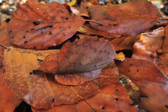The camouflage mappet moth looks like a fall lead in Switzerland. (Photo by Thomas Marent/Caters News/Ardea)