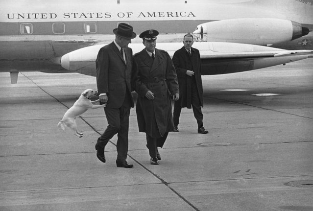 Yuki, a white mongrel belonging to President Lyndon Johnson, appears over-anxious to accompany his master as the president and Col. Frank C. Malone stride from the presidential jet at Bergstrom Air Force Base in Austin, Texas, January 11, 1968.  Malone is commanding officer of Bergstrom Air Force Base. (Photo by AP Photo)