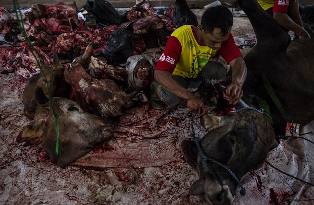 An Indonesian Muslim slaughters a cow during celebrations for Eid al-Adha at Jogokaryan mosque on September 12, 2016 in Yogyakarta, Indonesia. (Photo by Ulet Ifansasti/Getty Images)