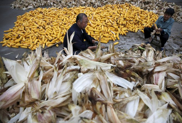Farmers husk corn at a farm village in Gaocheng, Hebei province, China, September 30, 2015. (Photo by Kim Kyung-Hoon/Reuters)