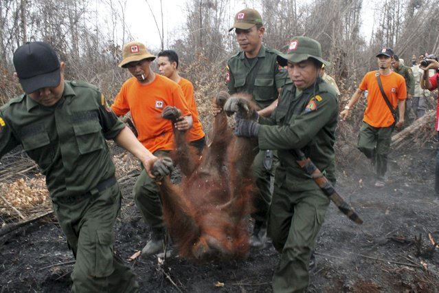 Natural Resources Conservation Center (BKSDA) officers and members of the Orangutan Foundation evacuate a 19-year-old female orangutan from a forest area affected by fires near Sampit, Central Kalimantan October 28, 2015 in this photo taken by Antara Foto. The thick smoke caused by land-clearing forest fires in Indonesia is affecting the health of orangutans. (Photo by Reuters/Norjani/Antara Foto)